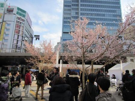 Der erste Sakura-Baum, den ich gesehen habe!