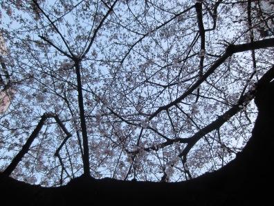 mein Sakura Baum am Heimweg