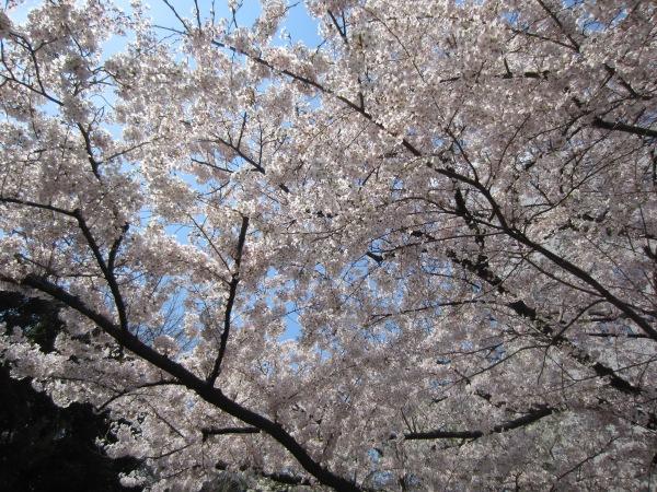 Sakura bei meinem Weg zum Bahnhof Shinjuku