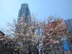 Sakura beim Shibuya-Bahnhof