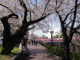 jetzt blühen die Sakura